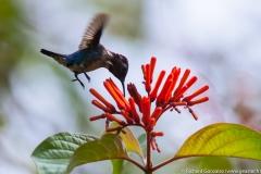 colibri-3
